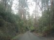 Toolangi State Forest 17