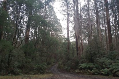 Toolangi State Forest 18