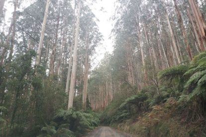 Toolangi State Forest 20